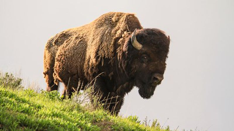 The National Park Service says you don't want to wave at a bison.