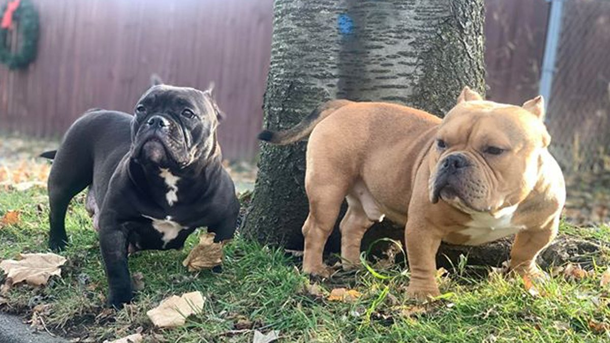 These two Micro Mini Bully's have been missing since this weekend from around Lowcroft...
