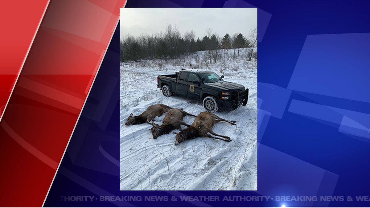 Michigan Department of Natural Resources conservation officers in Gaylord are seeking tips from the public regarding three adult cow elk poached in Otsego County – the third elk poaching case in northern Michigan in roughly a month. (Source DNR)
