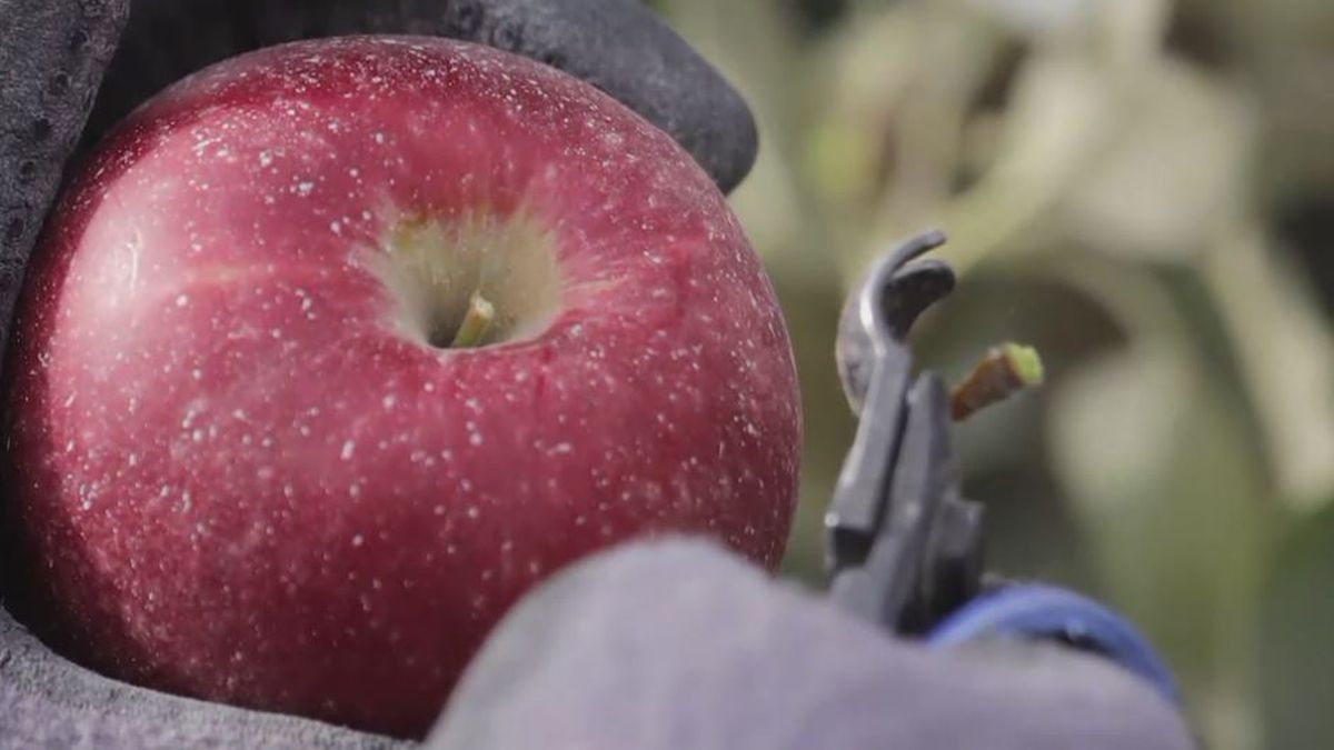 Cosmic crisp apples are named after the yellowish dots on their skin, which growers say look like stars (SOURCE: KOLN).