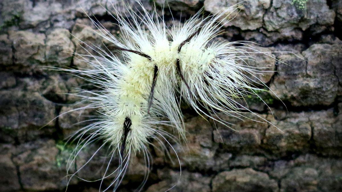 American Dagger caterpillar (Acronicta americana) (WILX)