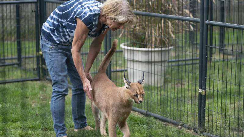 Elaine Westfall, of Royal Oak, Mich., plays her 1-year-old African caracal, Wasabi, in her...