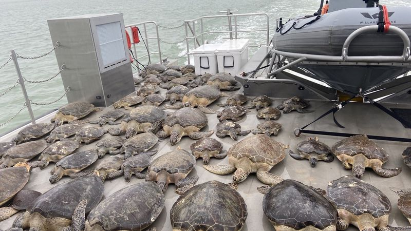 Texas Game Wardens pulled 141 cold stunned sea turtles from the frigid waters of the...