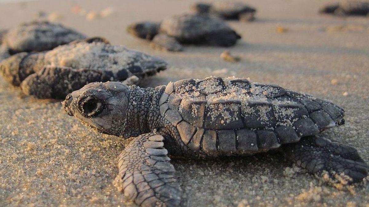 Stock photo of baby sea turtles.