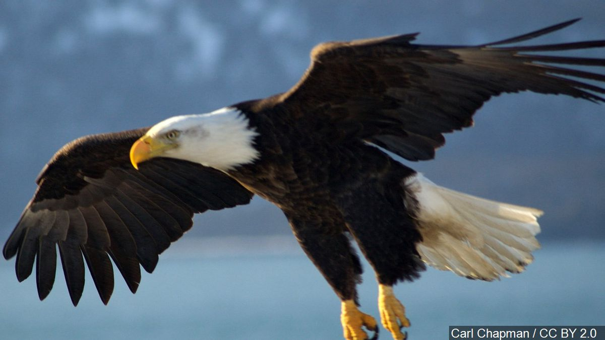 A Michigan man will serve a jail sentence and lose his hunting license permanently after pleading guilty to wildlife crimes for killing wolves and bald eagles in the Upper Peninsula.