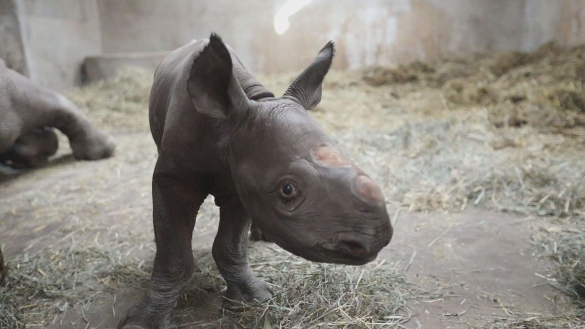 The baby rhino hasn't been named yet, and won't be visible to the public for a few months (source: Potter Park Zoo).