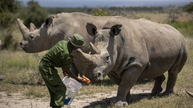 In this Friday, Aug. 23, 2019 file photo, female northern white rhinos Fatu, 19, right, and...