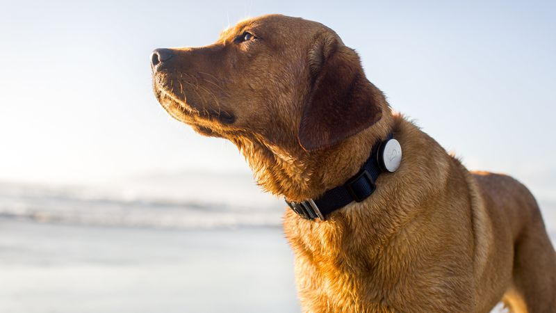 This GPS-enabled Whistle device lets pet owners track their dog's activity level, including...