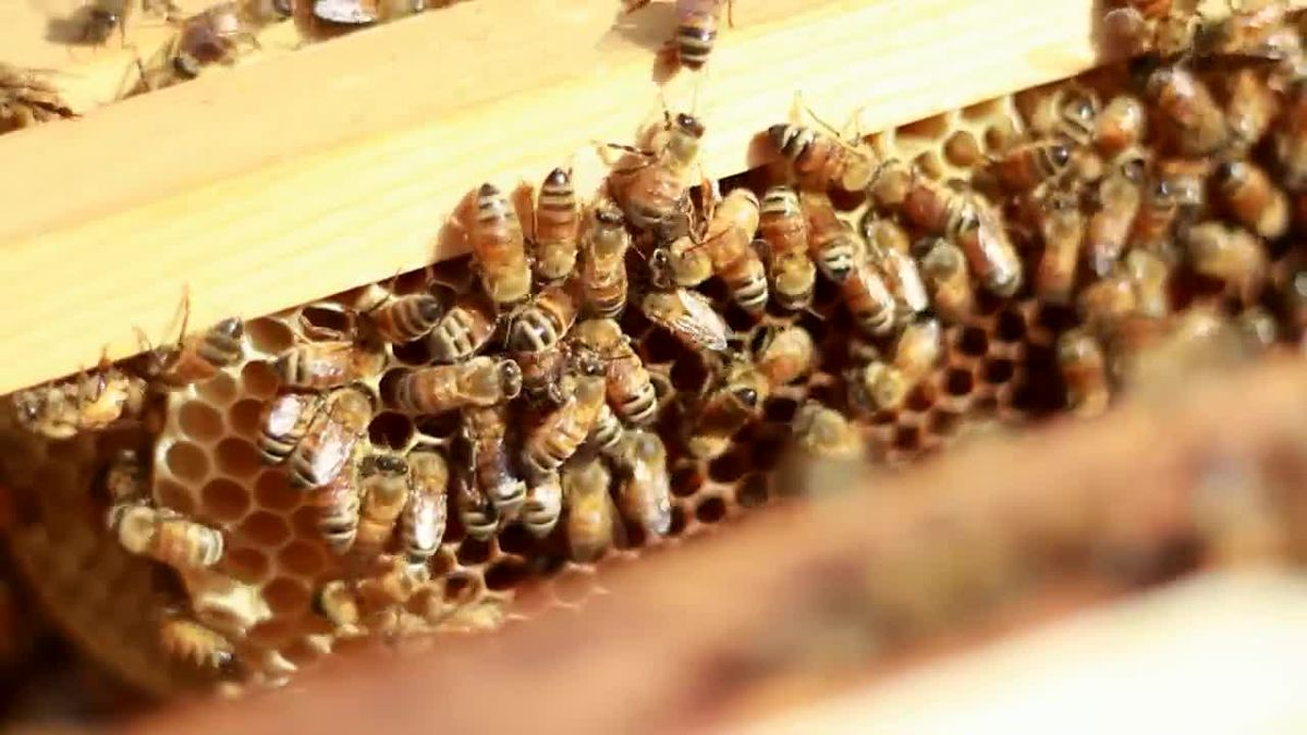 Michigan State University is preparing an on-campus center for studies on pollinators such as...