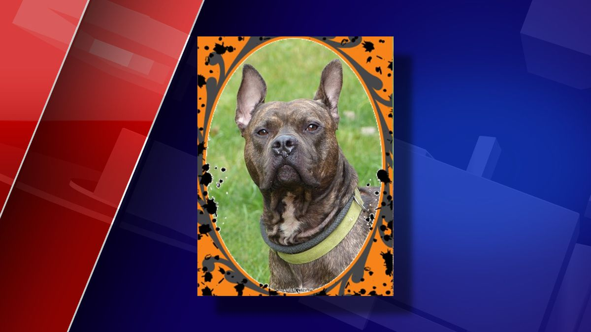 Boardman is one of many dogs looking for their new home. See him and others at the Ingham County Animal Shelter.