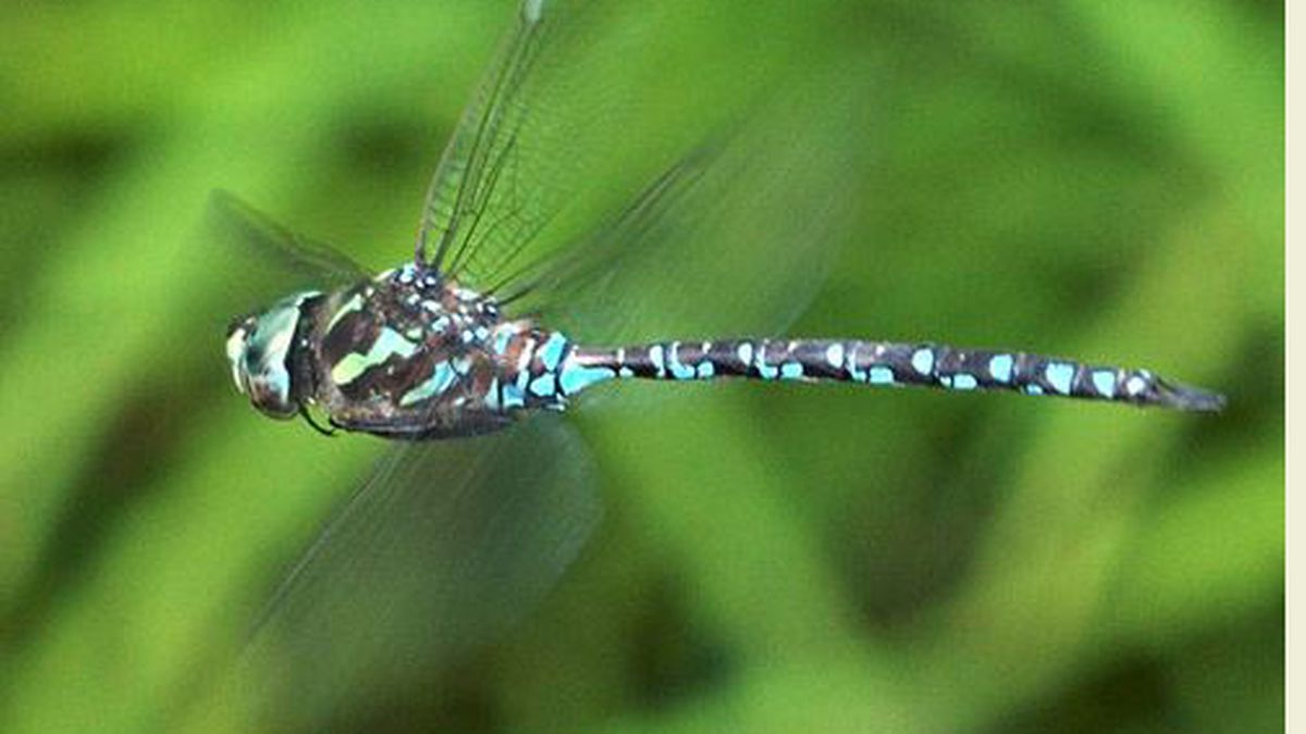 The Green Darner Dragonfly could become Michigan's state insect. (Photo by Mike...