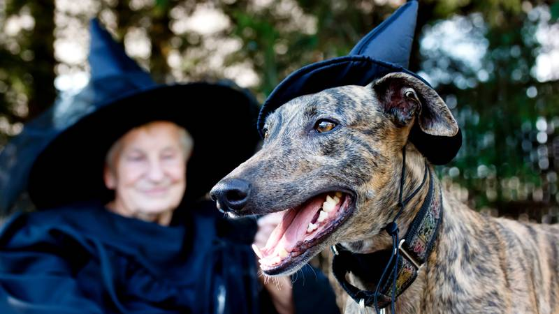 Greyhound dog and senior lady in witch costume