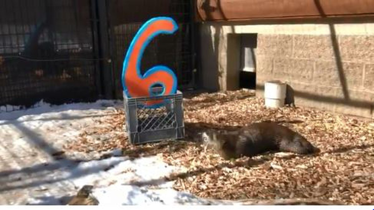 Snapshot from video Potter Park Zoo posted on Twitter of Miles enjoying his birthday...